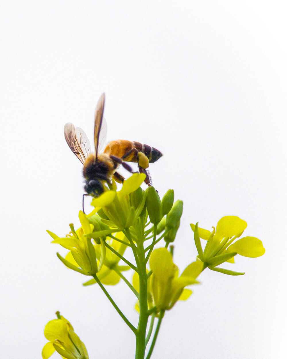 Honeybee on a flower represents the purity of natural treatment for mental health issues.